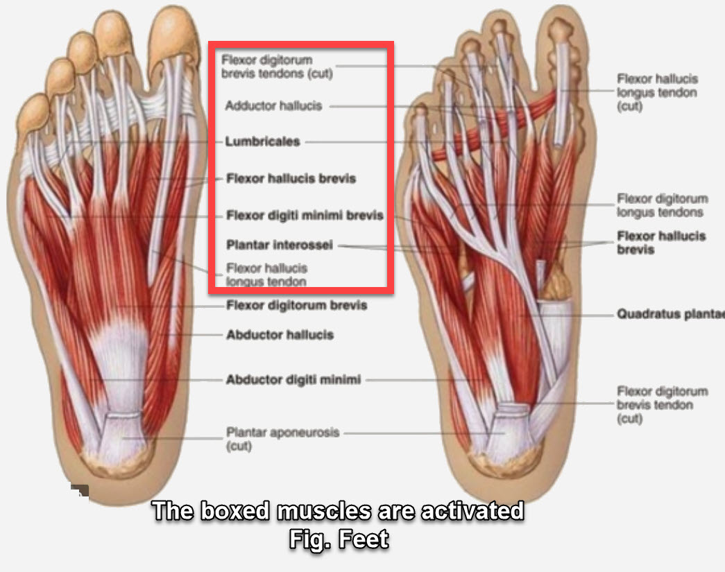 Fig. foot muscle
